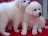 北京哪里出售纯种宠物大白熊