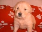 爱宠犬舍低价出售萨摩耶,泰迪熊,金毛等世界名犬,