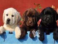 杭州拉布拉多一本地养殖狗场一直销各种世界名犬 常年售卖