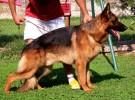 出售精品德牧犬护卫犬 品相一流 自己繁殖 上门看狗