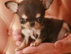 哪里有卖吉娃娃犬 吉娃娃多少钱一只 福州出售吉娃娃犬