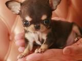 卖吉娃娃犬 吉娃娃 重庆出售吉娃娃犬