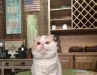 贵阳本地《猫咪森林猫舍》CFA加菲出售