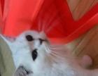 菲蓝猫舍出售各种美猫和各类粮食,用品