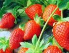 红果果生态草莓园开摘啦