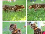 霸气的孟加拉豹猫、常年出售、全国可空运