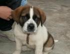 佛山哪有圣伯纳犬卖 佛山圣伯纳犬价格 佛山圣伯纳犬多少钱