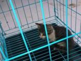 萌猫百分百宠物猫出售