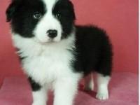 北京出售純種邊牧羊犬七白三通犬中型犬隕石邊牧活