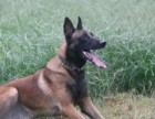 纯种马犬幼犬出售 比利时牧羊犬马犬幼犬出售 警犬后代幽灵犬
