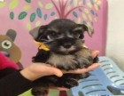纯种雪纳瑞幼犬椒盐灰色雪纳瑞宠物狗出售