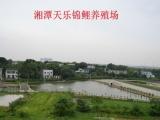 湖南湘潭天乐锦鲤养殖场2017年锦鲤水花销售