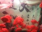出售大量台湾血元宝鹦鹉鱼