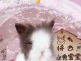 出售垂耳兔,道奇兔,安哥拉盖脸猫猫兔,茶杯兔侏儒兔长毛兔