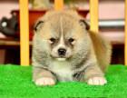 秋田犬图片,秋田犬多少钱一只