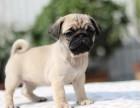 出售纯种巴哥幼犬健康质保 憨憨可爱 公母均有