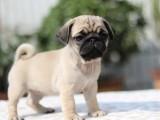 出售家养纯种的迷你巴哥幼犬宠物狗活泼可爱健康