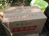 满山红中华寿桃采摘石家庄赞皇县鲍家滩满山红寿桃采摘