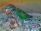 专业繁殖大绯胸鹦鹉 葵花鹦鹉 灰鹦鹉 金刚鹦鹉 亚吗逊鹦鹉