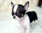 上海哪里出售吉娃娃上海吉娃娃狗狗价格上海吉娃娃哪里买多少钱