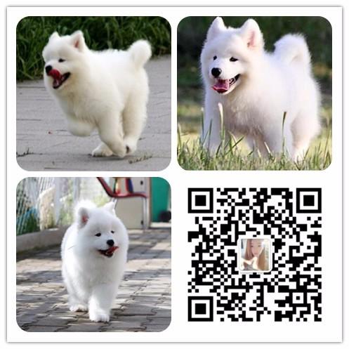 乌鲁木齐全国发货视频看狗血缘纯正芯片可查
