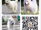 金达血统名犬繁育基地一品种齐全 签保障协议一加V信8折优惠