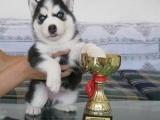 广州哪里有卖哈士奇三把火蓝眼睛哈士奇幼犬出售 健康保障