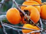 安徽柿子苗大量出售价格实惠包活包品种嫁接柿子苗基地直供