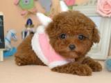 品相好看一点的泰迪犬多少钱一只
