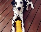 诚信交易 纯种斑点犬 健康终身保障 签协议送狗用品
