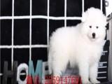 南京哪里有卖萨摩幼犬 南京的萨摩多少钱 纯种萨摩怎么卖