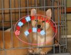本地出售纯种日系柴犬 证书齐全 可上门挑选