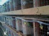 寻求鹦鹉合作养殖户
