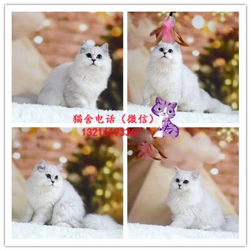 出售英短/加菲/布偶/蓝猫/金吉拉/美短/折耳猫(包纯种)