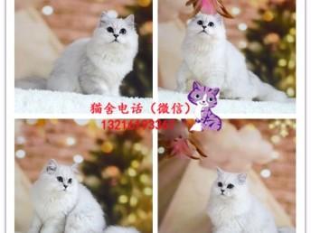出售英短/加菲/布偶/藍貓/金吉拉/美短/折耳貓 包純種