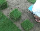 宁德草皮配送 绿化工程草皮 马尼拉草块批发 福州市罗源县草业
