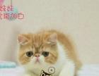 自家繁殖CFA纯种黄白加菲猫 驱虫疫苗齐 带证书