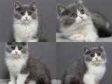 猫舍直销出售,英短美短加菲布偶等,贩子勿扰
