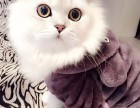 天津哪里有金吉拉猫卖 猫舍直销 健康活泼 包纯种 保养活