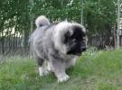 俄罗斯护卫犬 熊版高加索幼犬 血统纯正 欢迎选购