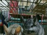 出售自家养松鼠龙猫刺猬沙鼠