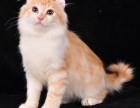 最大猫舍直销加菲宝宝带证书CFA认证