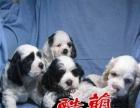 中山可卡犬狗场哪里有卖可卡犬哪里有卖宠物狗