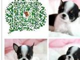 苹果吉娃娃幼犬 墨西哥吉娃娃 做完疫苗 包健康