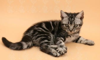 常年出售北京宠物狗蓝猫多少钱保健康签协议送货上门
