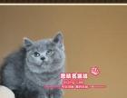 甜美可爱的纯血英短蓝猫小美女--思晴名猫坊