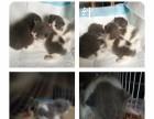 上海家养英短猫 便宜出 弟弟妹妹都有蓝白净樊
