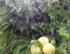 内蒙常年提供绿化占地桃李果苗木,本地培育保证成活率