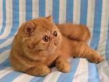 杭州南京苏州宁波纯种布偶折耳波斯短毛猫 双飞猫