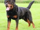 成都常年出售高品宠物犬幼犬,保健康签协议,品种齐全